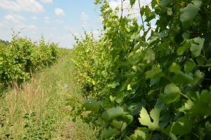 Weinbaugebiet Neusiedlersee - Lerchenfeld Pamhagen (c) Isabella Andert