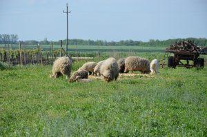 Schafe am Lerchenfeld in Pamhagen (c) Isabella Andert